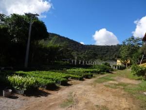 CPMVS e a produção de mudas, Serra da Jiboia ao fundo.