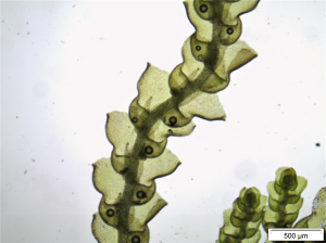 Fotomicrografia da Microlejeunea jiboiensis (Autores: C.J.Bastos-S.Vilas Bôas Bastos)